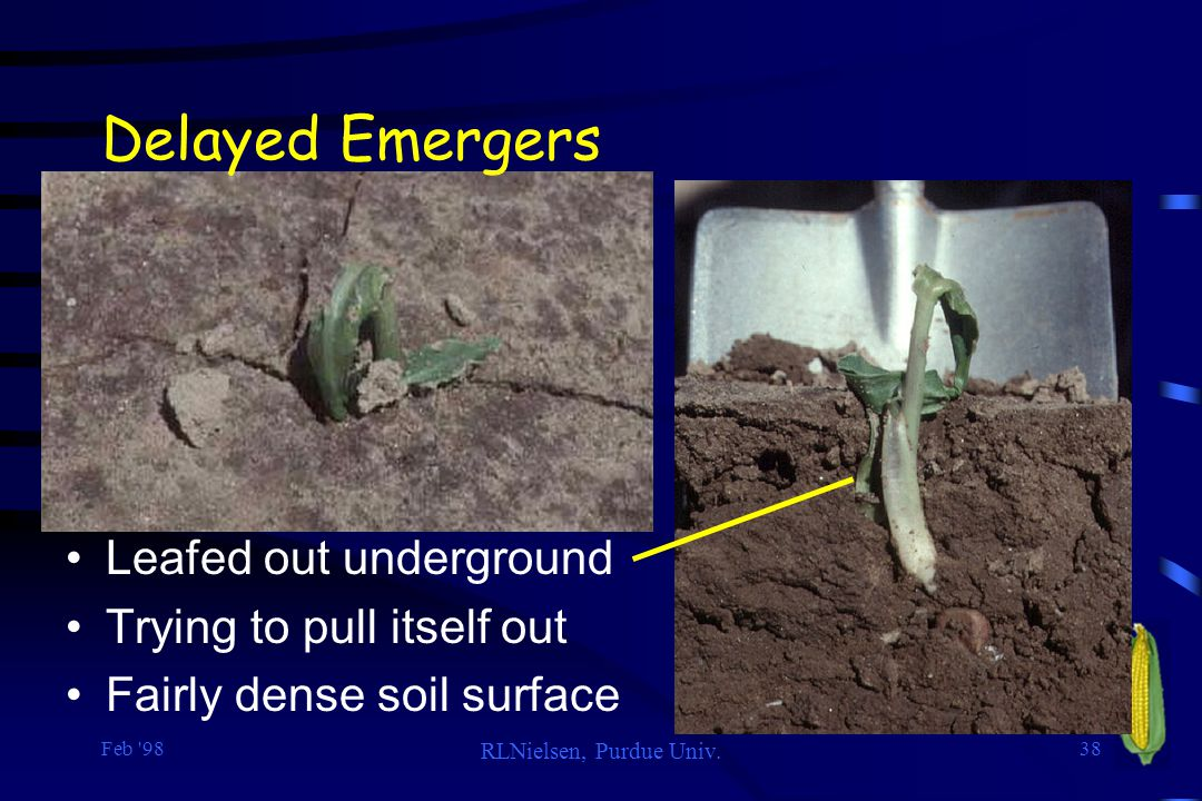 Delayed Emergers Leafed out underground Trying to pull itself out