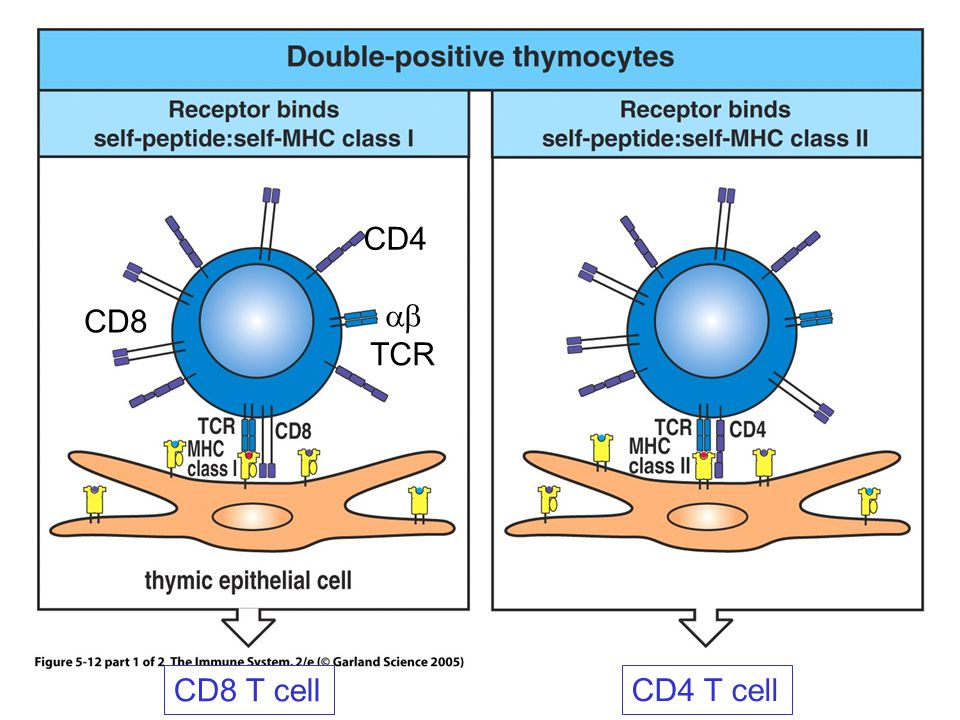 Figure 5-12 part 1 of 2 CD4 CD8 ab TCR CD8 T cell CD4 T cell