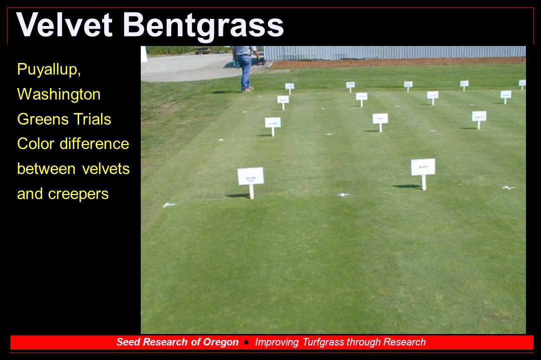 Velvet Bentgrass Puyallup, Washington Greens Trials Color difference