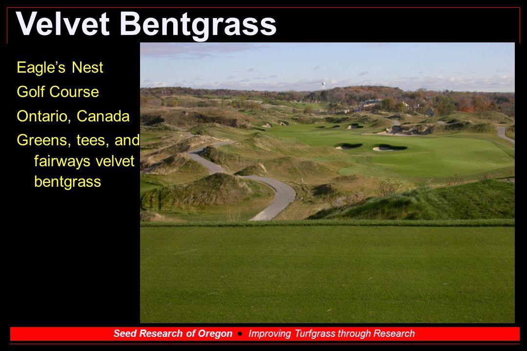 Velvet Bentgrass Eagle's Nest Golf Course Ontario, Canada