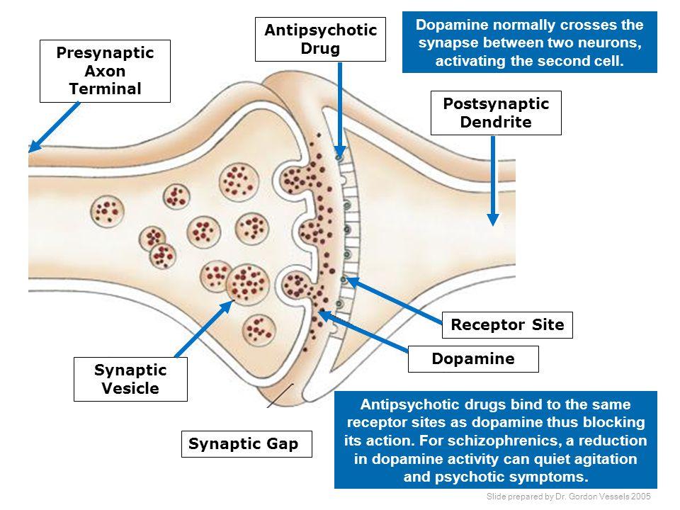 Presynaptic Axon Terminal Postsynaptic Dendrite