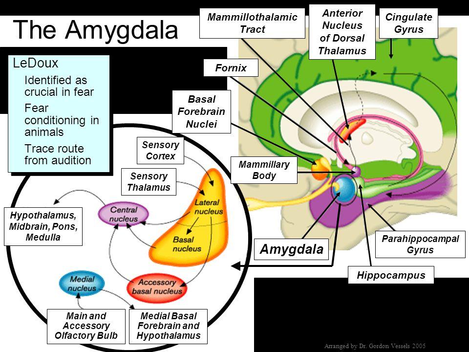 The Amygdala LeDoux Amygdala Identified as crucial in fear