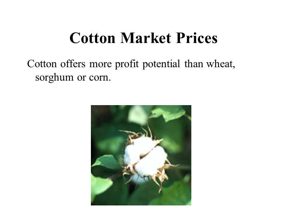 Cotton Market Prices Cotton offers more profit potential than wheat, sorghum or corn.