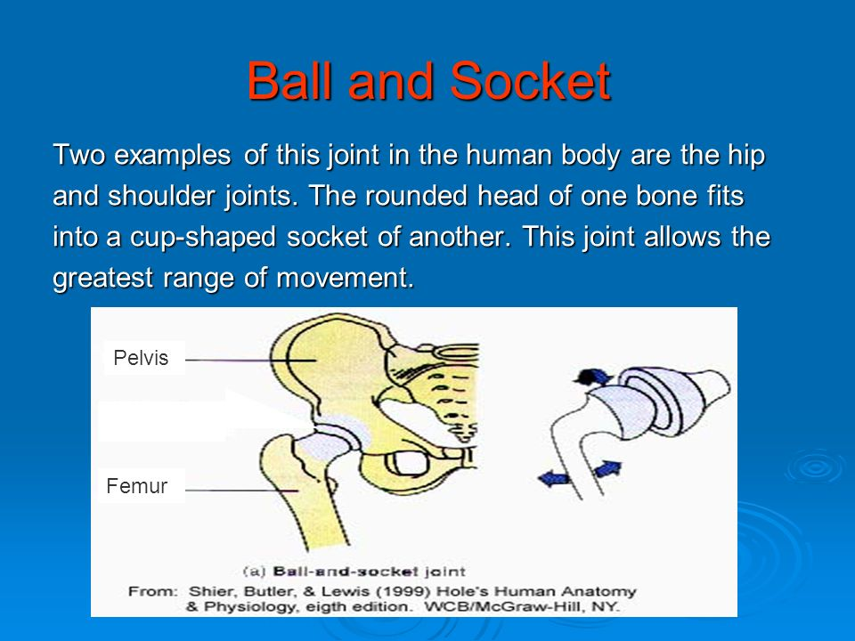 Ball and Socket Two examples of this joint in the human body are the hip. and shoulder joints. The rounded head of one bone fits.