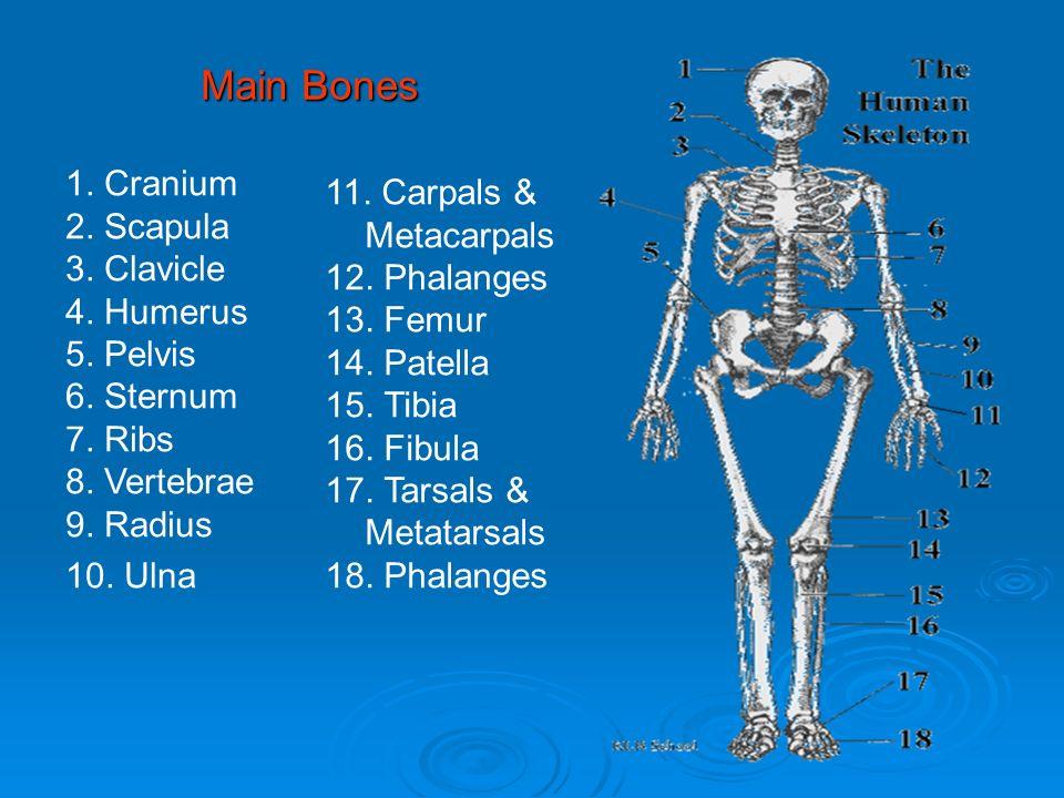 Main Bones 1. Cranium 2. Scapula 3. Clavicle 4. Humerus 5. Pelvis