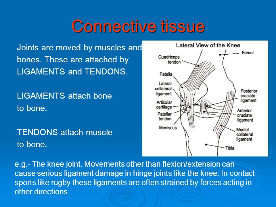 Connective tissue Joints are moved by muscles and