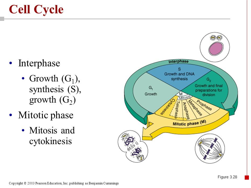 Cell Cycle Interphase Mitotic phase