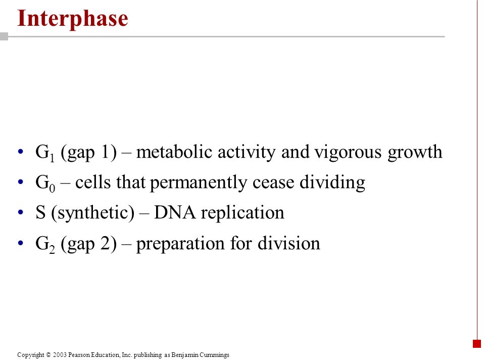 Interphase G1 (gap 1) – metabolic activity and vigorous growth