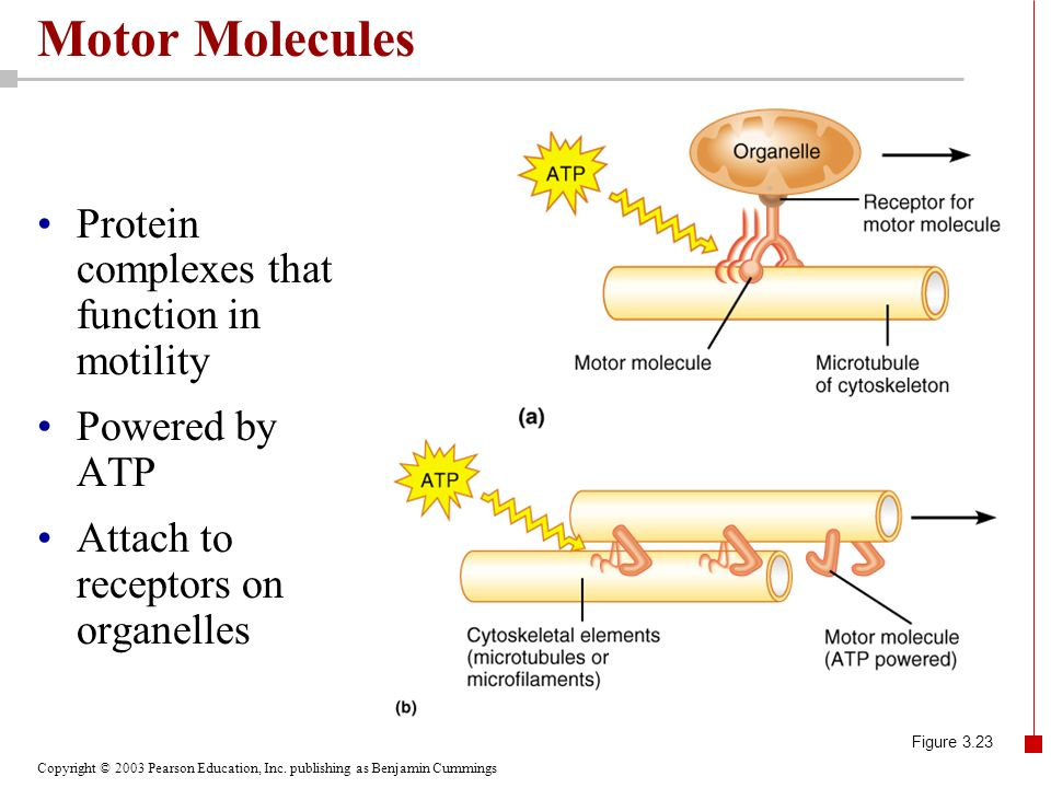 Motor Molecules Protein complexes that function in motility