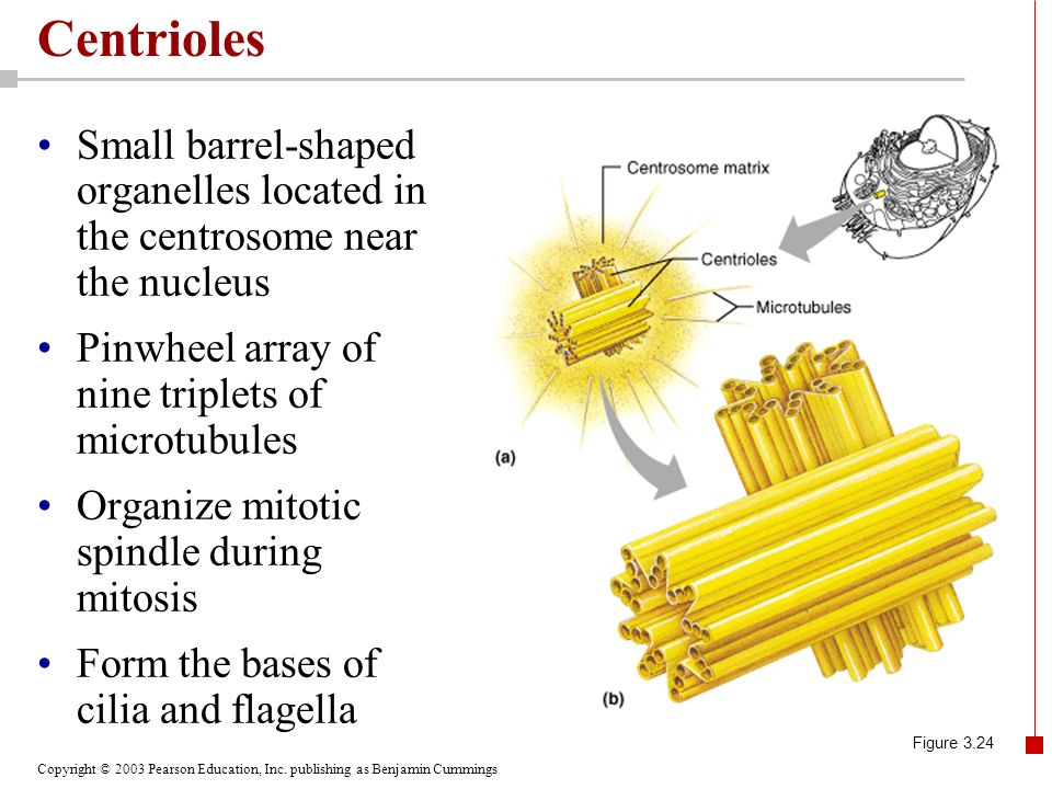 Centrioles Small barrel-shaped organelles located in the centrosome near the nucleus. Pinwheel array of nine triplets of microtubules.