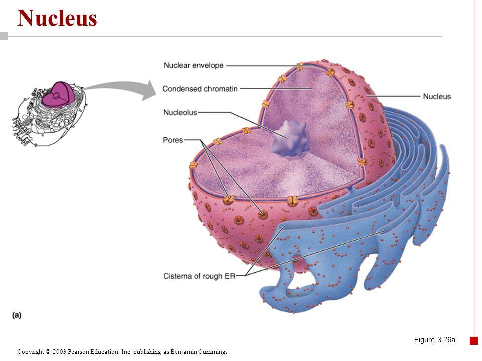 Nucleus Figure 3.26a