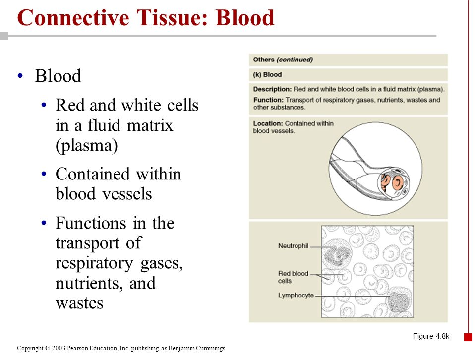 Connective Tissue: Blood