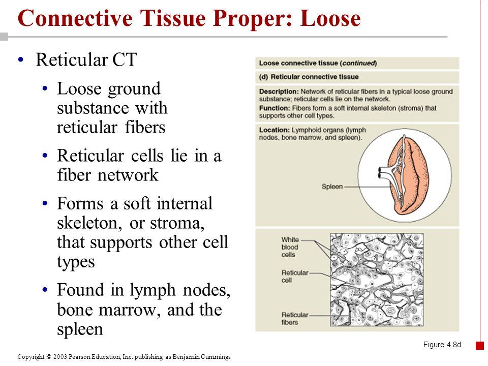 Connective Tissue Proper: Loose