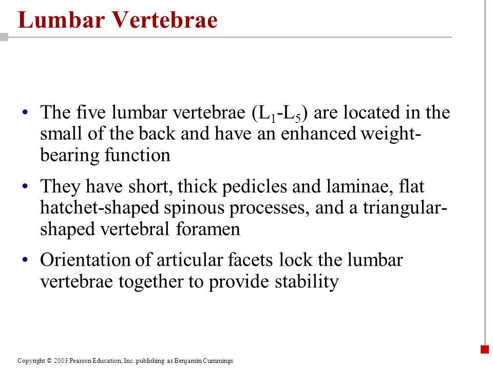 Lumbar Vertebrae The five lumbar vertebrae (L1-L5) are located in the small of the back and have an enhanced weight-bearing function.