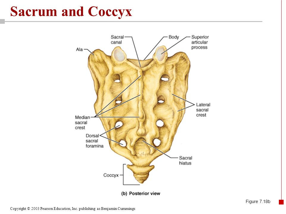 Sacrum and Coccyx Figure 7.18b