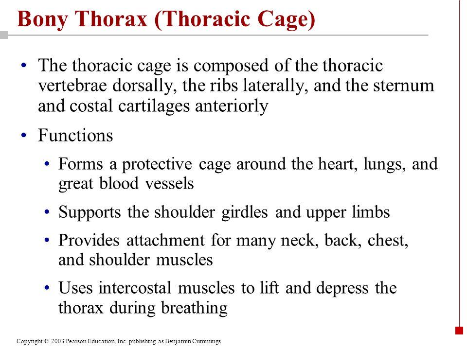 Bony Thorax (Thoracic Cage)