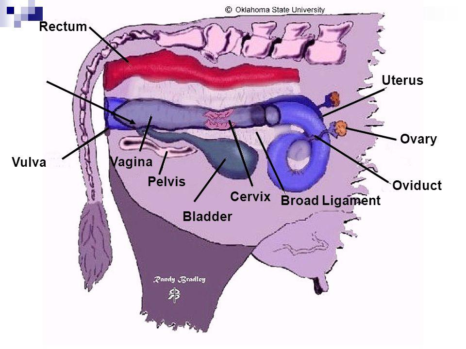 Rectum Uterus Ovary Vulva Vagina Pelvis Oviduct Cervix Broad Ligament Bladder