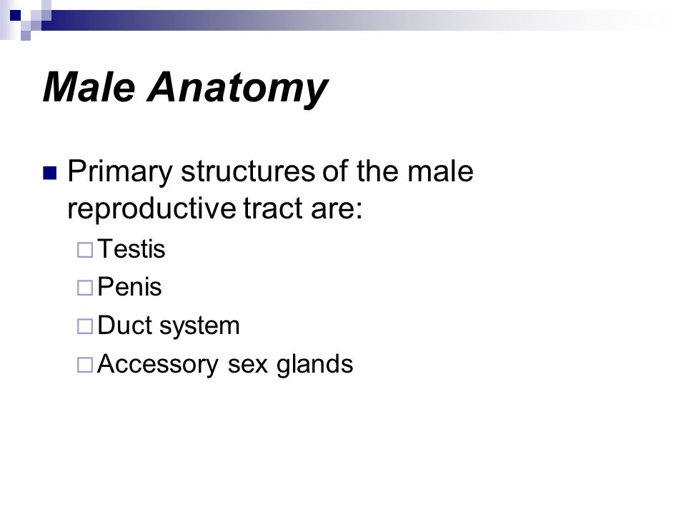Male Anatomy Primary structures of the male reproductive tract are: