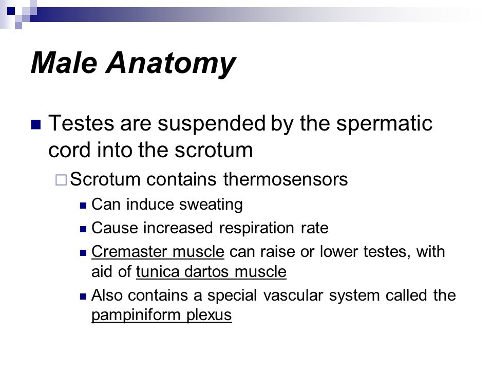 Male Anatomy Testes are suspended by the spermatic cord into the scrotum. Scrotum contains thermosensors.