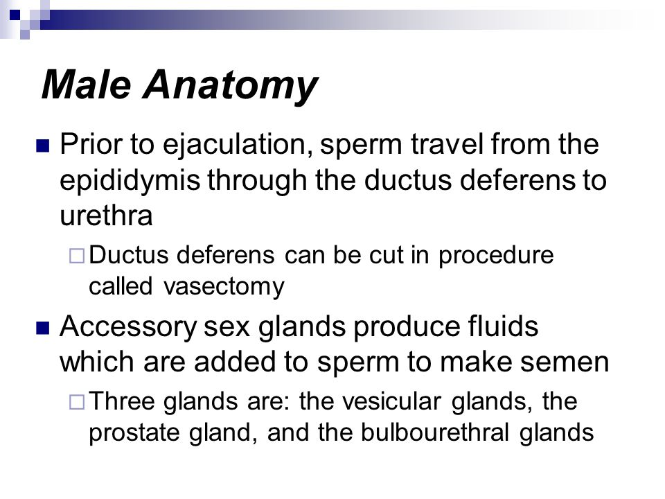 Male Anatomy Prior to ejaculation, sperm travel from the epididymis through the ductus deferens to urethra.