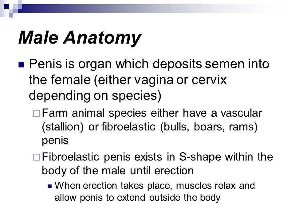 Male Anatomy Penis is organ which deposits semen into the female (either vagina or cervix depending on species)