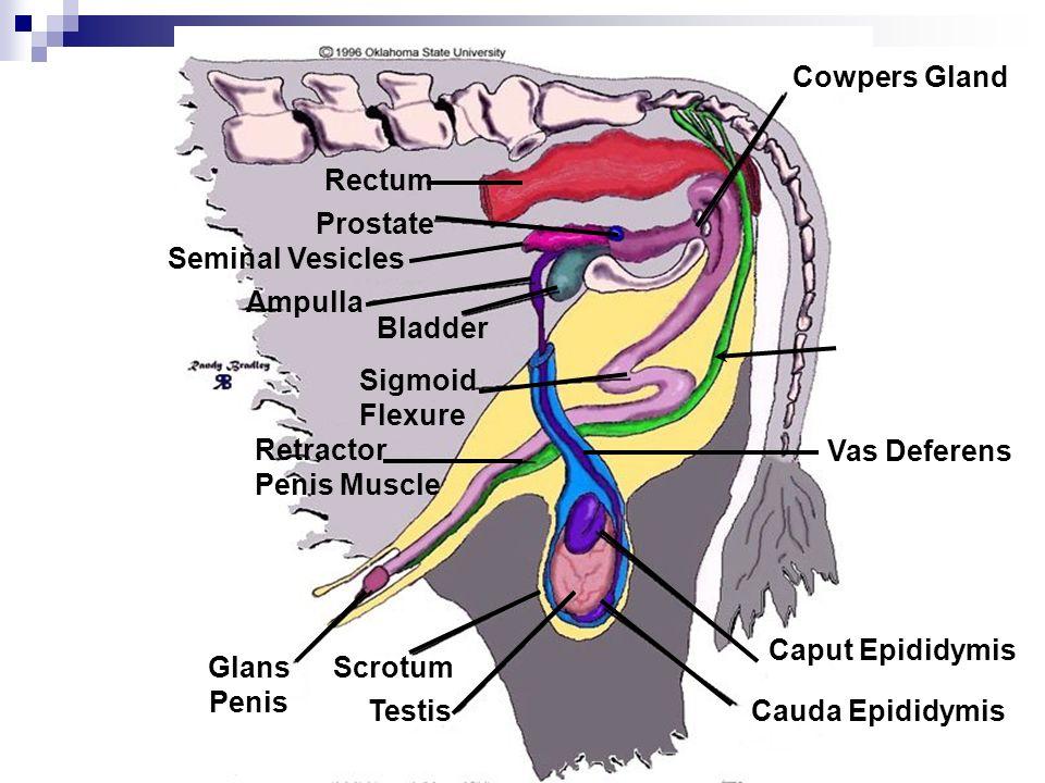 Cowpers Gland Rectum. Prostate. Seminal Vesicles. Ampulla. Bladder. Sigmoid. Flexure. Retractor.
