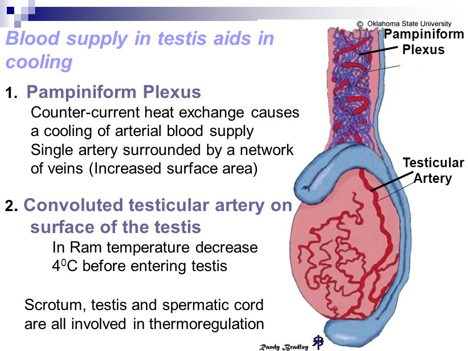 Blood supply in testis aids in cooling