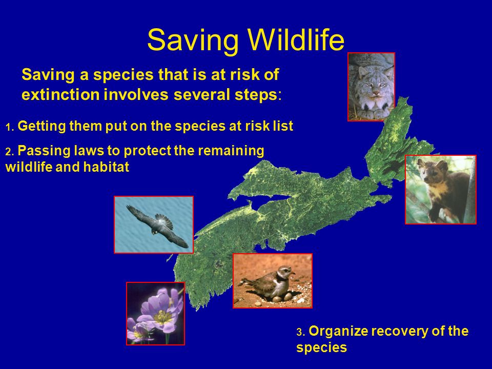 Saving Wildlife Saving a species that is at risk of extinction involves several steps: 1. Getting them put on the species at risk list.