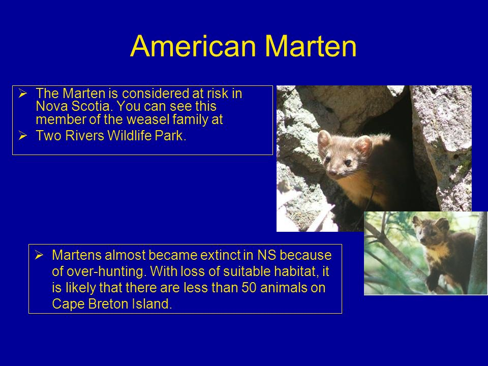 American Marten The Marten is considered at risk in Nova Scotia. You can see this member of the weasel family at.
