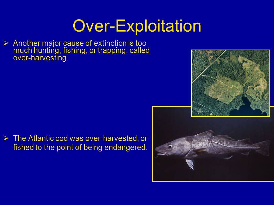 Over-Exploitation Another major cause of extinction is too much hunting, fishing, or trapping, called over-harvesting.