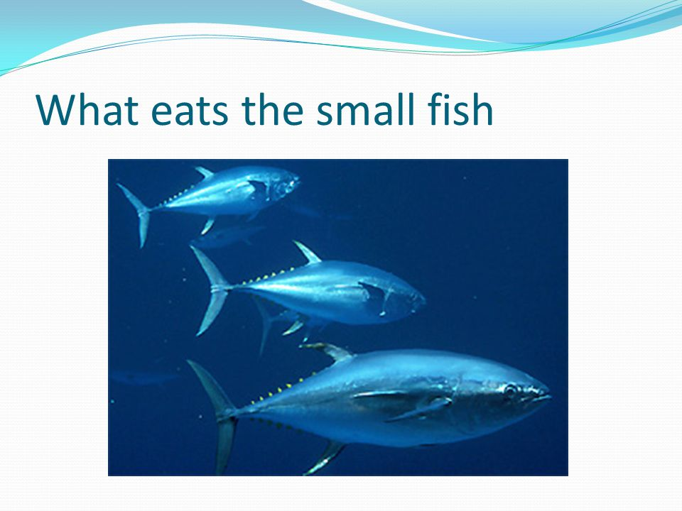 What eats the small fish