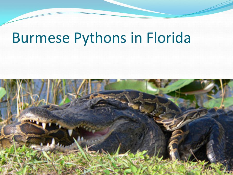 Burmese Pythons in Florida