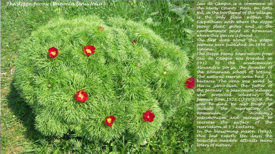 The steppe peony (Paeonia tenuifolia)