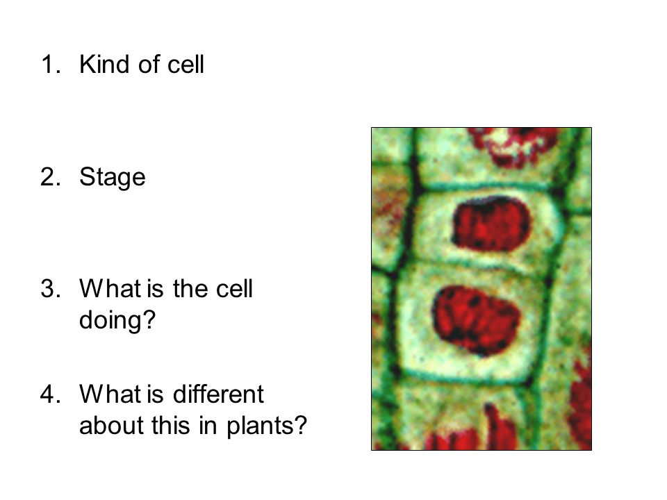 Kind of cell Stage What is the cell doing What is different about this in plants