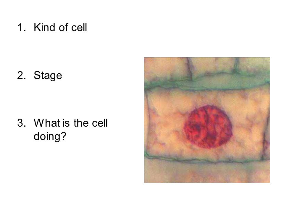 Kind of cell Stage What is the cell doing