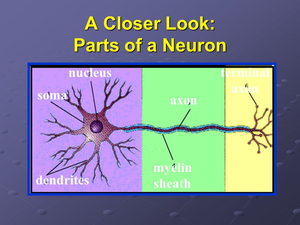 A Closer Look: Parts of a Neuron