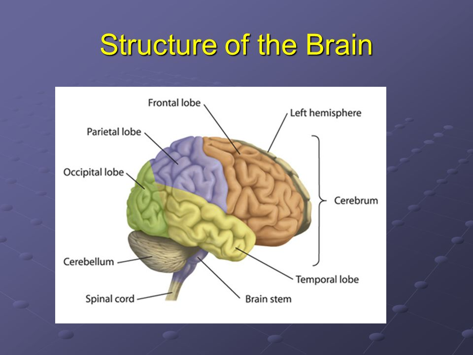 Structure of the Brain The three main parts of the brain are the cerebrum, cerebellum and brain stem.