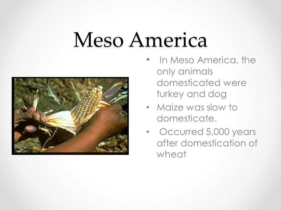 Meso America In Meso America, the only animals domesticated were turkey and dog. Maize was slow to domesticate.