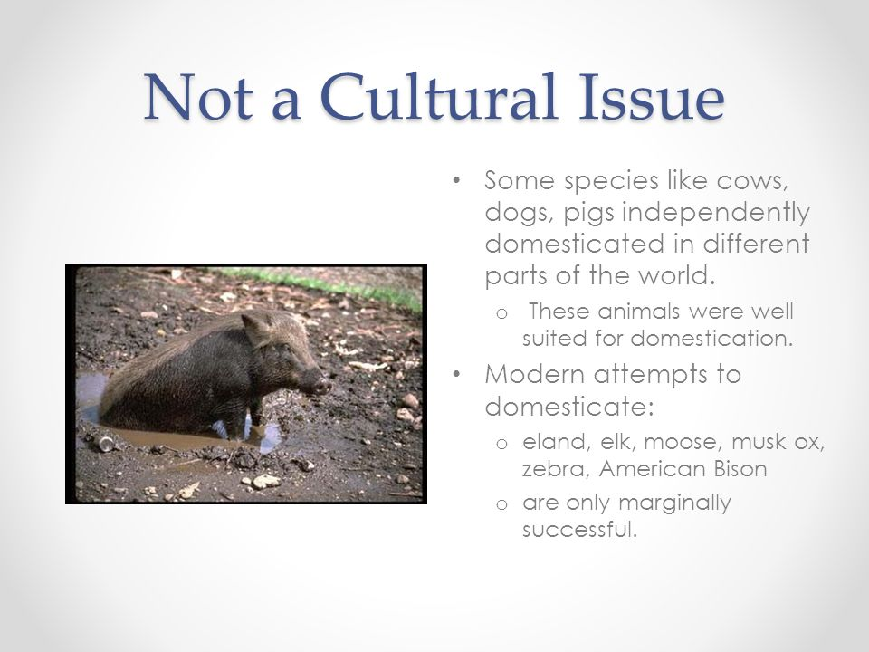 Not a Cultural Issue Some species like cows, dogs, pigs independently domesticated in different parts of the world.