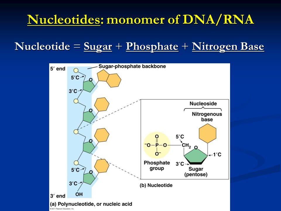 Nucleotides: monomer of DNA/RNA