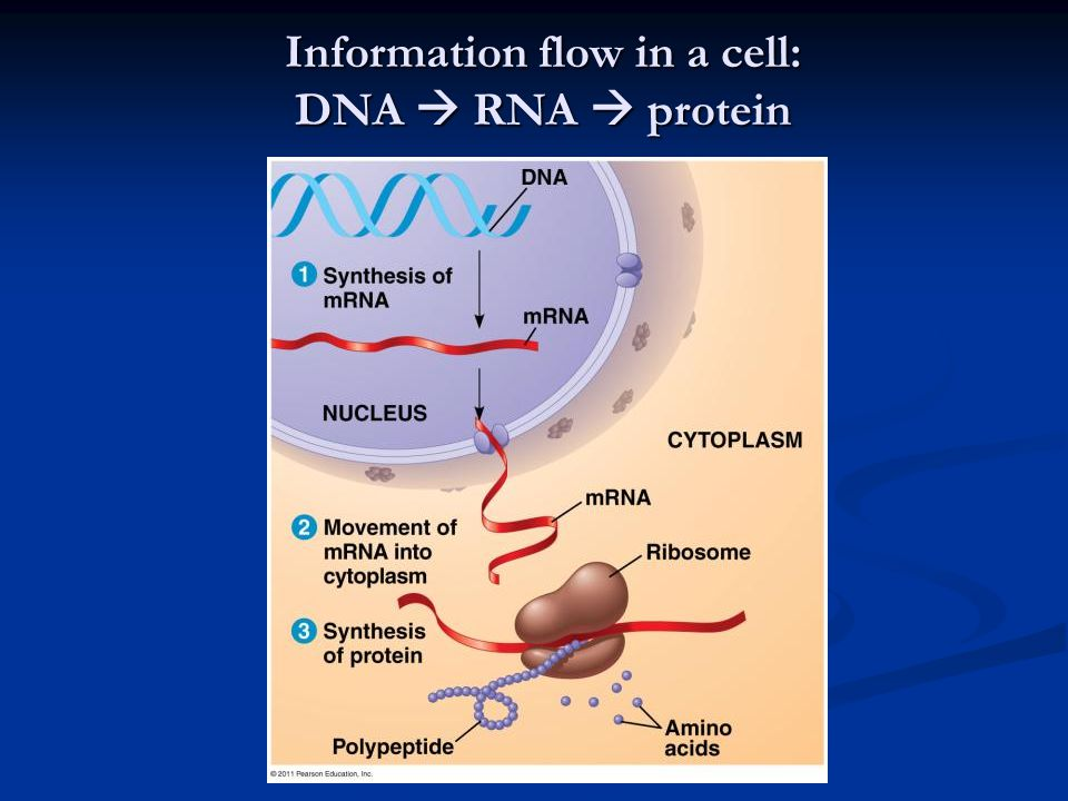 Information flow in a cell: DNA  RNA  protein
