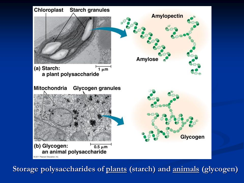 Storage polysaccharides of plants (starch) and animals (glycogen)