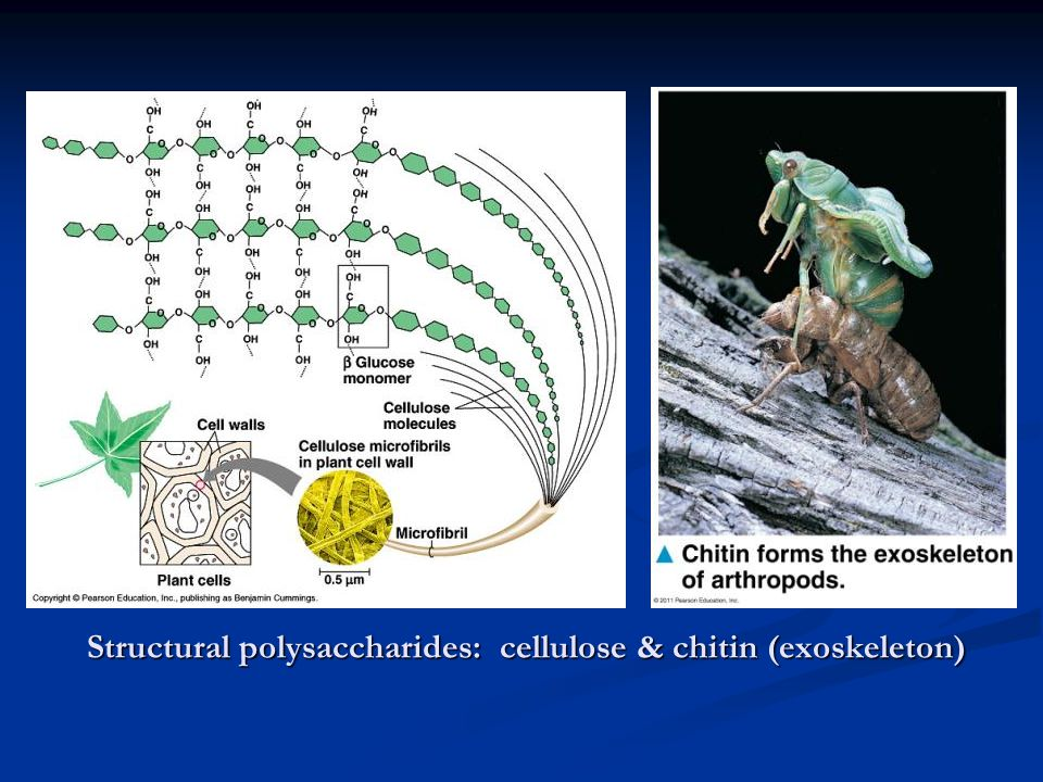 Structural polysaccharides: cellulose & chitin (exoskeleton)
