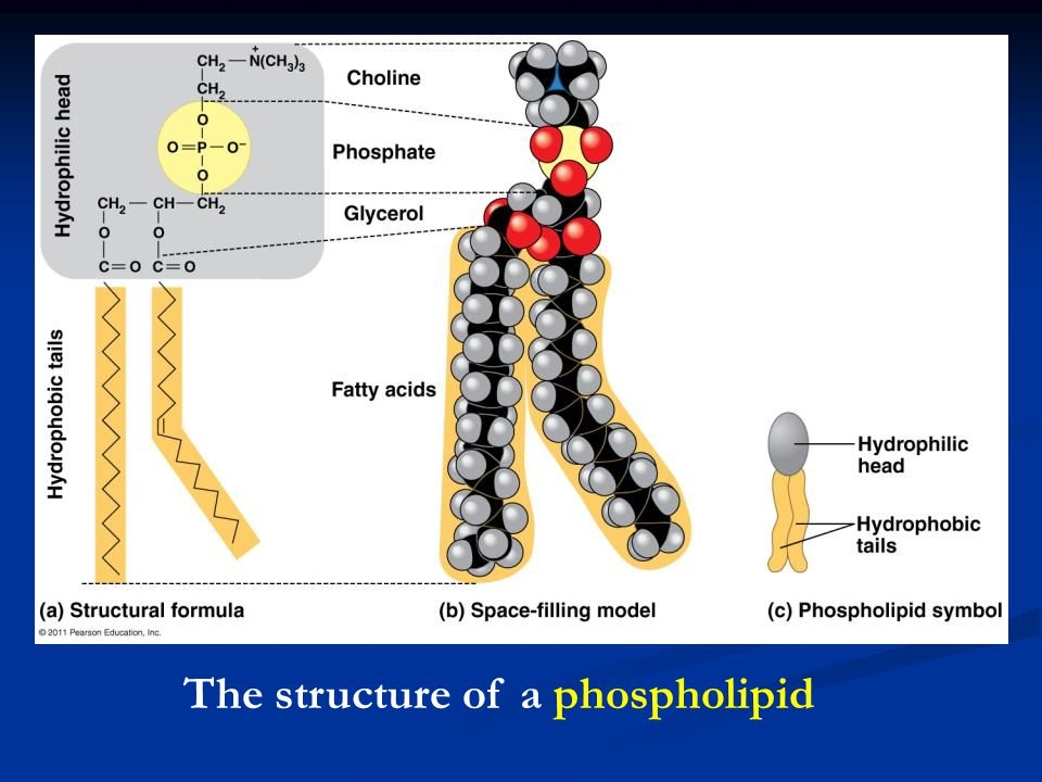 The structure of a phospholipid