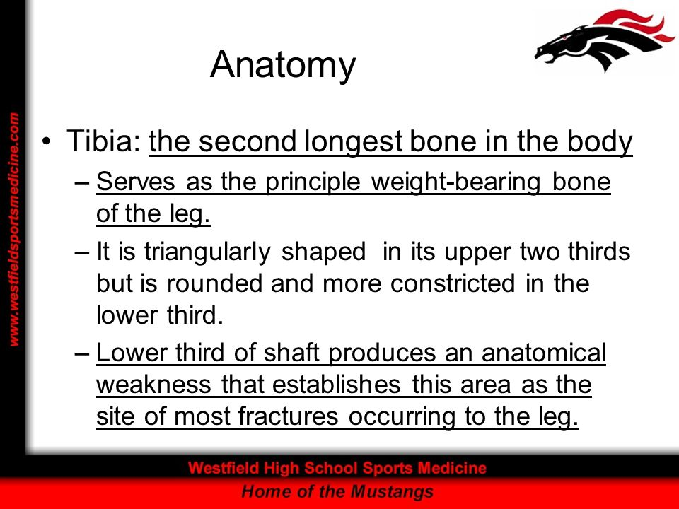 Anatomy Tibia: the second longest bone in the body