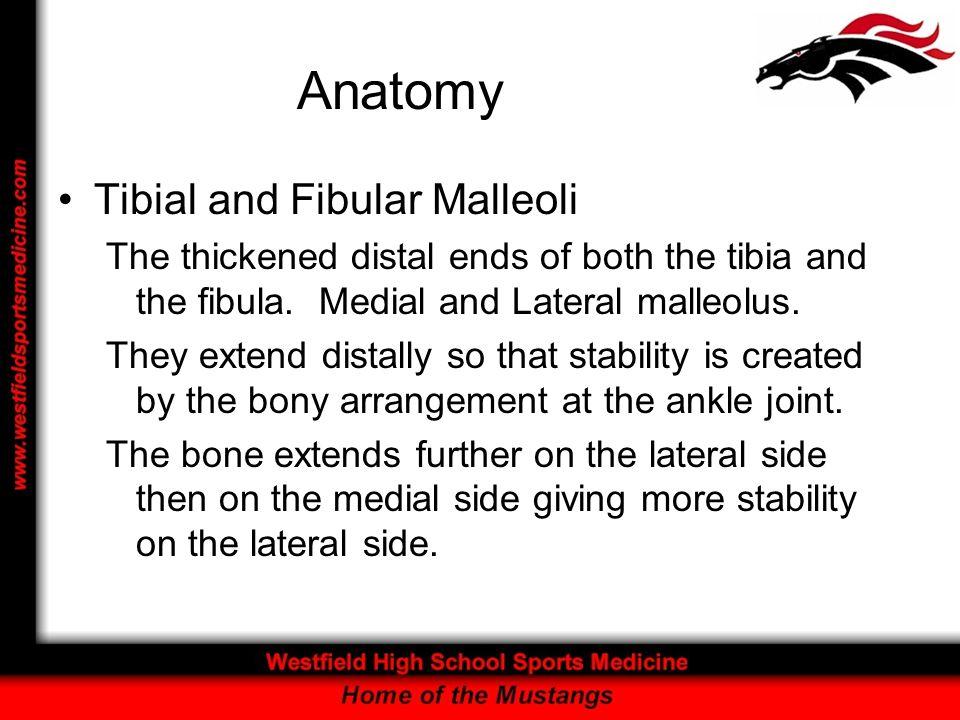 Anatomy Tibial and Fibular Malleoli
