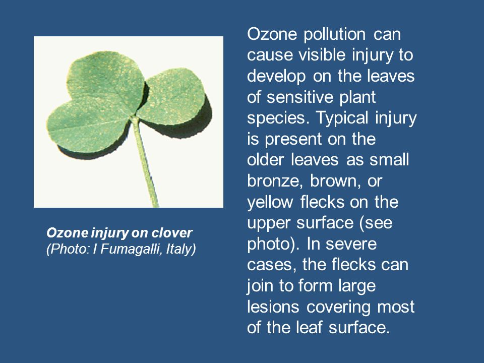 Ozone pollution can cause visible injury to develop on the leaves of sensitive plant species. Typical injury is present on the older leaves as small bronze, brown, or yellow flecks on the upper surface (see photo). In severe cases, the flecks can join to form large lesions covering most of the leaf surface.