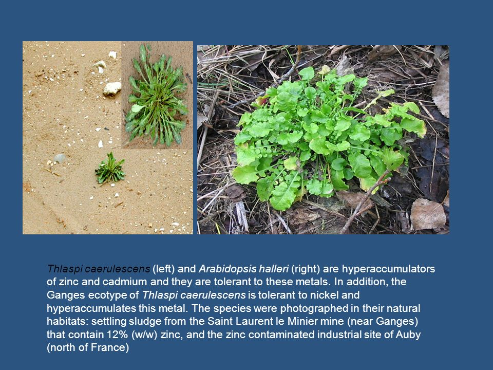 Thlaspi caerulescens (left) and Arabidopsis halleri (right) are hyperaccumulators of zinc and cadmium and they are tolerant to these metals.
