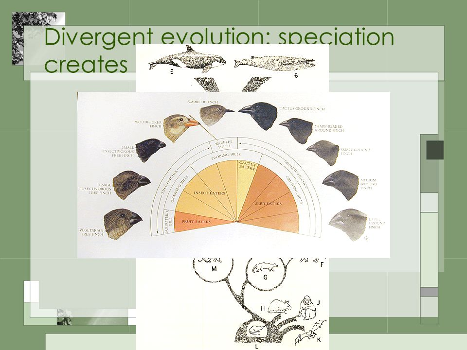Divergent evolution: speciation creates separate species