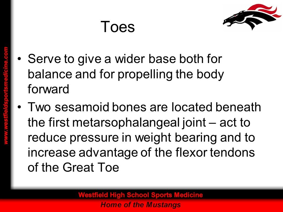 Toes Serve to give a wider base both for balance and for propelling the body forward.